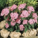 USA SELLER Egyptian Starcluster Graffiti Pink (Pentas) 100 seeds