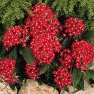 USA SELLER Egyptian Starcluster Graffiti Bright Red (Pentas) 100 seeds