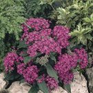 USA SELLER Egyptian Starcluster Graffiti Violet (Pentas) 100 seeds
