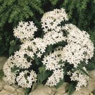 USA SELLER Egyptian Starcluster Graffiti White (Pentas) 100 seeds