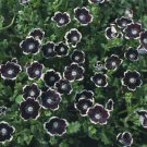 USA SELLER Pennie Black 50 seeds