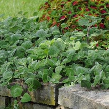 USA SELLER Silver Crest Swedish Ivy 10 seeds