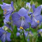 USA SELLER Jacob's Ladder Blue 25 seeds