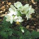 USA SELLER Jacob's Ladder White 25 seeds