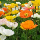 USA SELLER Alpine Poppy Mix 100 seeds