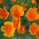 USA SELLER California Poppy orange 200 seeds