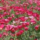 USA SELLER California Poppy Carmine King 200 seeds