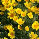 USA SELLER California Poppy Golden West 200 seeds