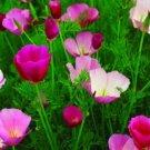 USA SELLER California Poppy Purple Gleam 200 seeds