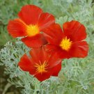 USA SELLER California Poppy Red Chief 200 seeds