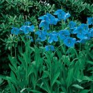 USA SELLER Blue Himalayan Poppy 10 seeds