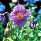 USA SELLER Violet Himalayan Poppy 10 seeds