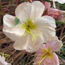 USA SELLER Pale Evening Primrose 100 seeds