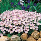 USA SELLER Showy Evening Primrose 100 seeds
