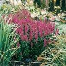 USA SELLER Purple Loosestrife 200 seeds