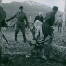 An old photo of men in the farm controlling and handling deer at the back of the
