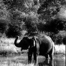 indian elephant - 8x10 photo
