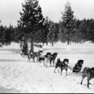Dog sled team - 8x10 photo