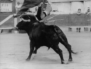 Bull threw El Cordobes in air.  - 8x10 photo
