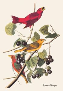 Summer Tanager - 16x24 Giclee Fine Art Print Framed In Black (20x30 Finished)