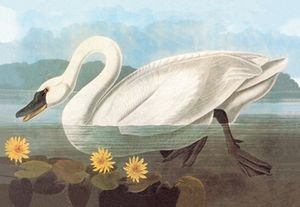 Whistling Swan - 12x18 Framed Print In Black Frame (17x23 Finished)
