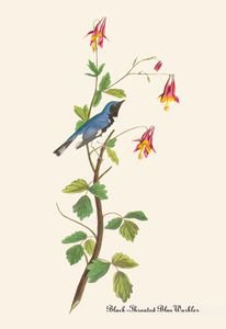 Black-Throated Blue Warbler - 20x30 Gallery Wrapped Canvas Print