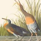 Clapper Rail - 16x24 Giclee Fine Art Print Framed In Gold (20x30 Finished)