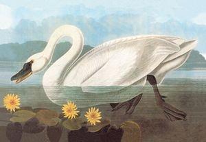 Whistling Swan - 16x24 Giclee Fine Art Print