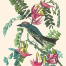 Gray Kingbird - 12x18 Framed Print In Black Frame (17x23 Finished)