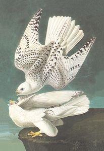 White Gyrfalcon - 12x18 Gallery Wrapped Canvas Print