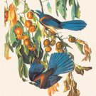 Scrub Jay - 16x24 Giclee Fine Art Print Framed In Gold (20x30 Finished)