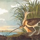 Long-Billed Curlew - Paper Poster (18.75 X 28.5)