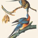 Passenger Pigeon - 16x24 Giclee Fine Art Print Framed In Gold (20x30 Finished)