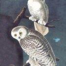 Snowy Owl - 16x24 Giclee Fine Art Print
