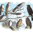 Femerol & Richardsons Falcons, Isabella Hawk, Acadian Owl - 12x18 Gallery Wrapped Canvas Print