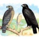 Buzzard,  Hawk - 16x24 Giclee Fine Art Print Framed In Black (20x30 Finished)