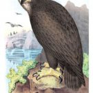 Gray, Or Sea Eagle - Paper Poster (18.75 X 28.5)