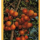 CK60. Vintage US Postcard. Orange Cluster.Lower Rio Grande Valley of Texas