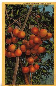 CK60. Vintage US Postcard. Orange Cluster.Lower Rio Grande Valley of Texas