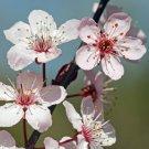 All Natural Cherry Blossom Scented Shampoo 16 Oz