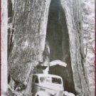 SHRINE TREE ANTIQUE CAR INSIDE - MEYERS, CALIF-VINTAGE RPPC PHOTO POSTCARD