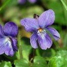 Ambrosial Violet Leaf Essential Oil (Viola odorata) 100% Pure & Natural