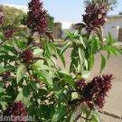 Ambrosial Basil Marwa Tulsi Essential Oil Pure Natural Organic Ocimum basilicum