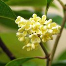 Ambrosial Osmanthus Essential Oil (Osmanthus fragrans) 100% Pure & Natural