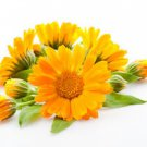 Ambrosial Calendula Essential Oil (Calendula officinalis) Pure Natural Organic
