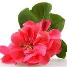 Ambrosial Geranium Essential Oil 100% Pure Organic Natural Uncut 10ml - 1000ml