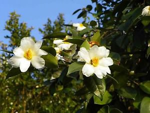 Ambrosial Camellia Oil 100% Pure Organic Natural Uncut Undiluted 10ml - 1000ml