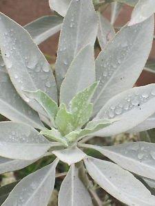 White Sage Oil 100% Natural by Ambrosial 10 ml to 1000ml (Salvia Apiana)