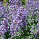 Premium Seeds 300 Pcs Catnip Nepeta Cataria NON-GMO Cat Lovers Edible Plants