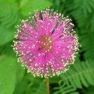 Premium 50 Seeds Sensitive Plant Mimosa Pudica Fun Easy Growing Putri Malu